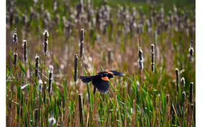 Report on Denver's urban wetlands highlights ecological values and restoration opportunities